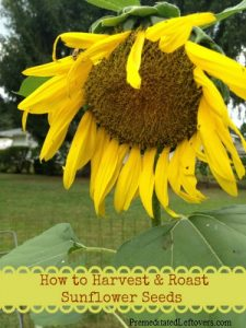 How-to-Harvest-and-Roast-Sunflower-Seeds